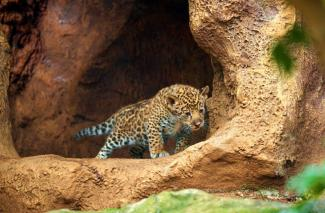 Loro Parque begins the year with the birth of twin jaguars