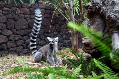 A ray of hope as Loro Parque welcomes an endangered ring-tailed Lemur pup