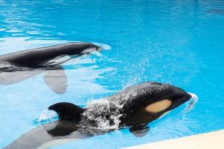 Loro Parque commemorates the 10th anniversary of the rescue of the orca Morgan