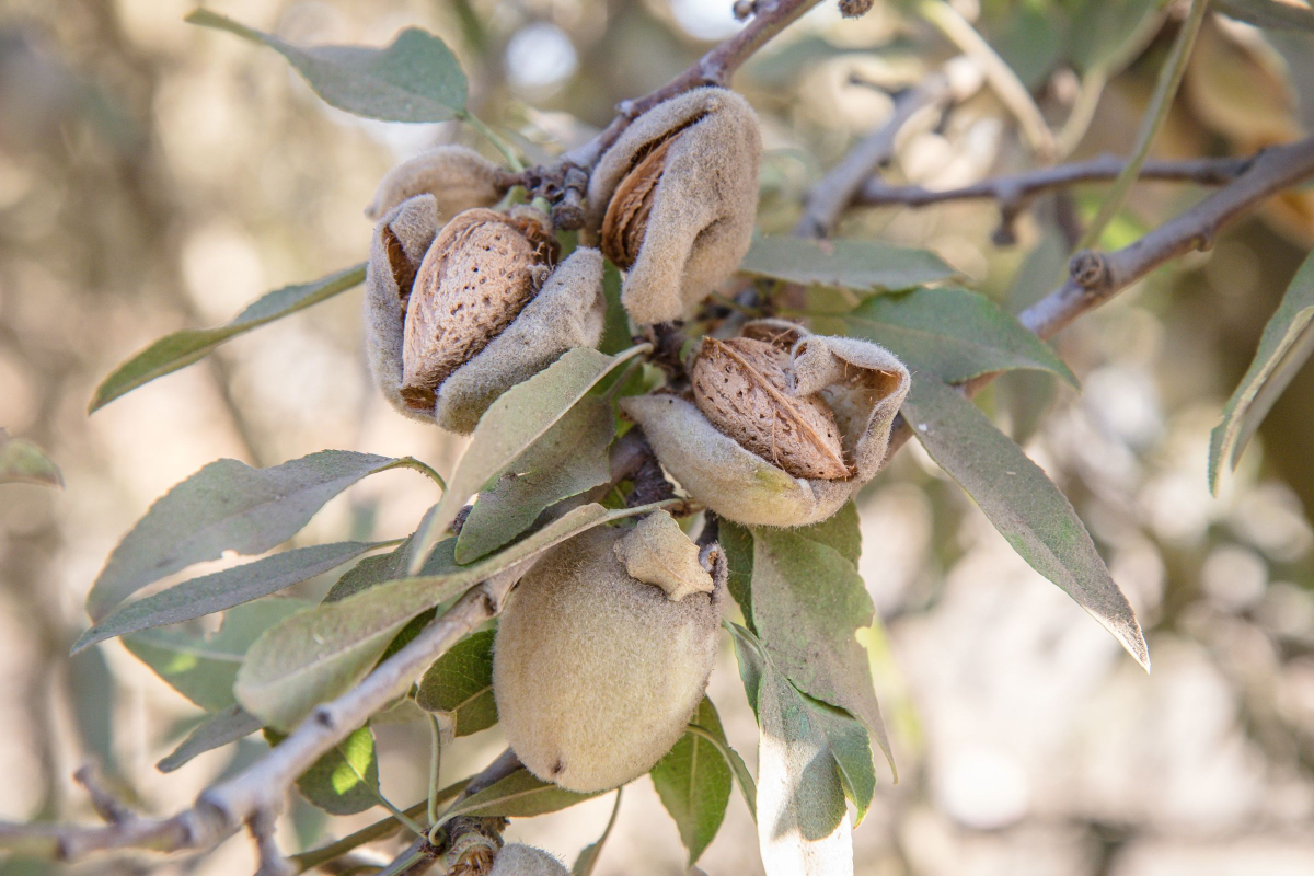 Nut Harvesting Requires Special Industrial Equipment