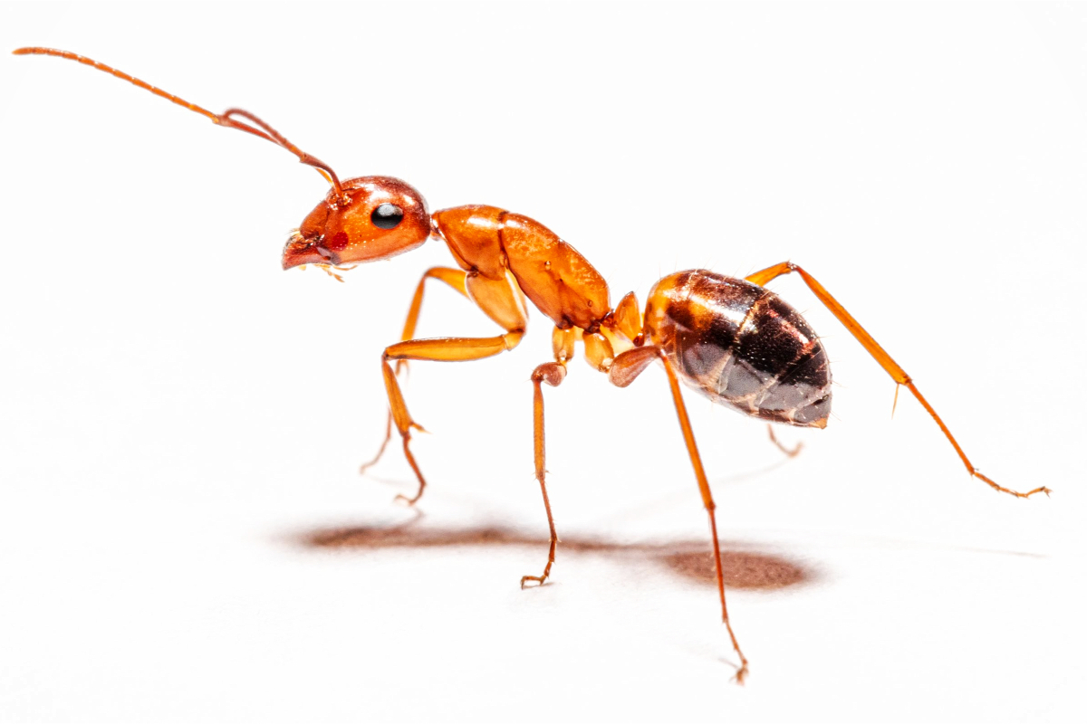 When Fire Ants Invade, Homeowners Must Know How to Protect Their Lawn